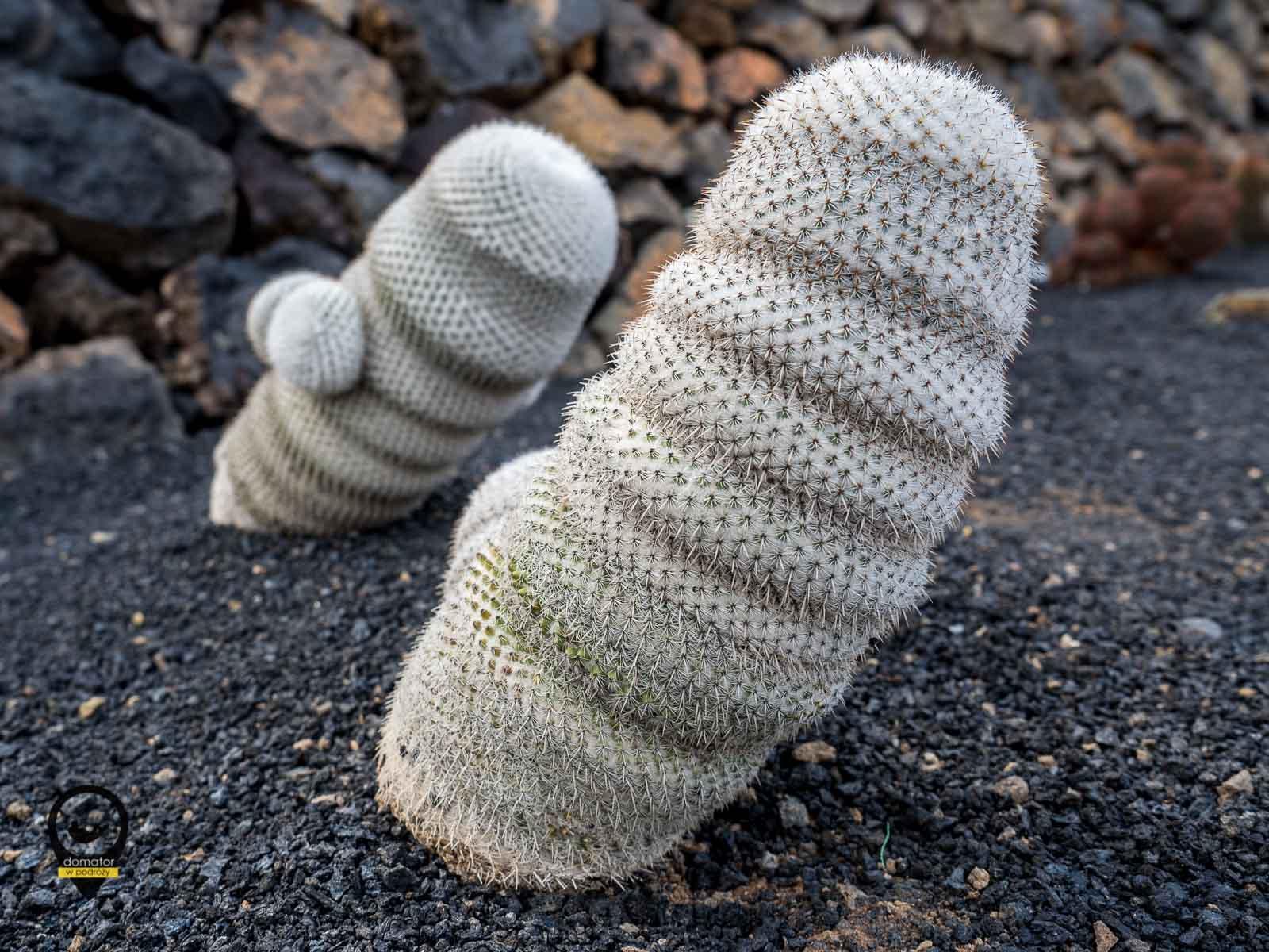 Kaktus w parku na Lanzarote