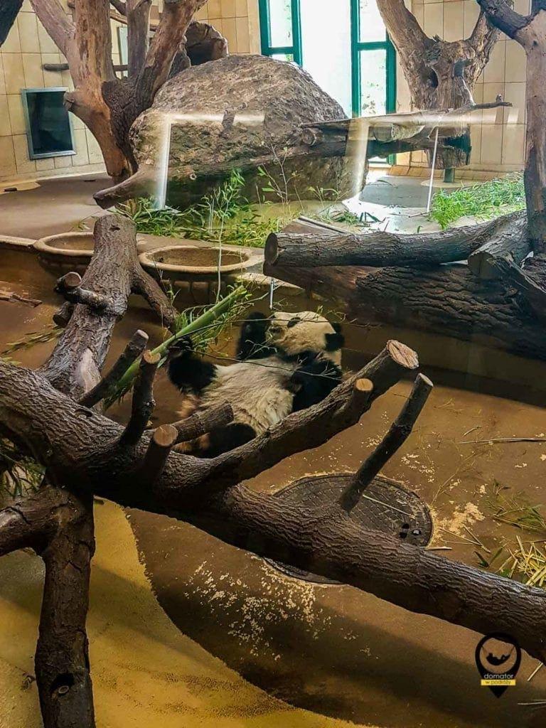 Panda w ogrodzie zoologiczny Schönbrunn
